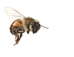 Whassup Honeybee