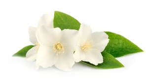 bigstock-Flowers-Of-Jasmine-45945922