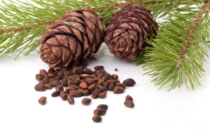 Siberian Fir with Cones and Nuts