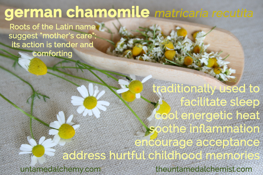 german chamomile peek