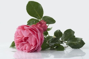 Pink Roses (rosa Damascena)