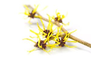 Flowers Of Witch Hazel, Medicinal Plant Hamamelis, Isolated On W